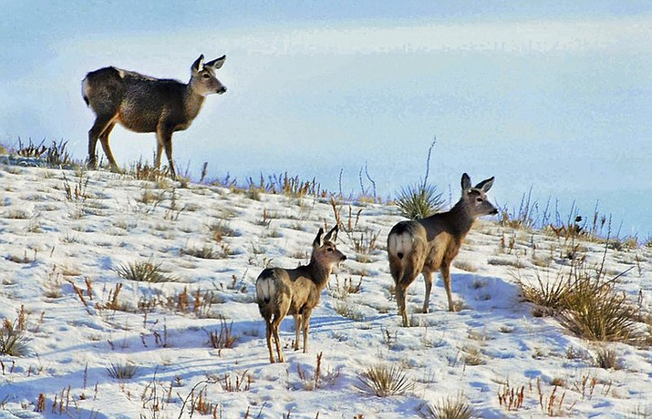 This March 12, 2010 file photo shows deer seeking foliage in retreating snow in grasslands near Miles City, Mont. This area is typical of other grasslands and similar tracts that are included in a policy by acting U.S. Interior Secretary David Bernhardt, who is ordering federal land managers to give more consideration to public access concerns when selling or trading public land. The executive Thursday, March 21, 2019 order comes amid longstanding complaints that millions of acres of state and federal land in the American West can be reached only through private property or small slivers of public land. (Steve Allison/Miles City Star)