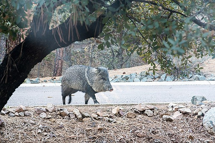 One large javelina — wandering along the road like he owns it. (Bill Grunklee/Courtesy)