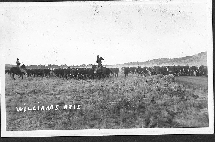 Ranchers bring in cattle in Williams in 1925. (Wiliams Historic Photo Archives)