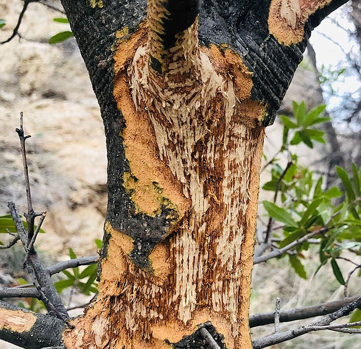 Porcupine damage to the trunk of a scrub oak tree on the backside of Willow Lake dam. (Eric Moore/Courtesy)