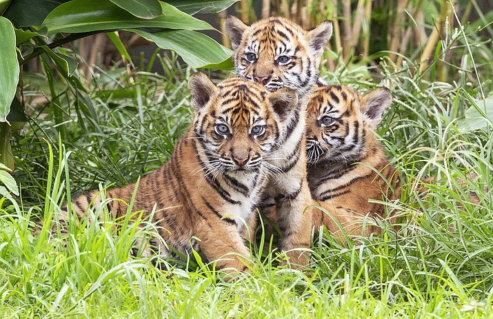 In this photo released by the Taronga Zoo Sydney, three Sumatran tiger cubs born at the Taronga Zoo in their habitat, Monday, March 25, 2019, in Sydney, Australia. Taronga Zoo manager Mandy Everett said the cubs were born on Jan. 17 to first-time mother Kartika. The female cubs were named Mawar, or Rose in Indonesian, and Tengah Malam, which means Midnight. The male's name is Pemanah, or Archer. (Rick Stevens/Taronga Zoo Sydney via AP)