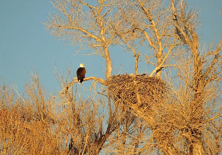 Watch live bald eagle cam: Arizona wildlife officials say ...