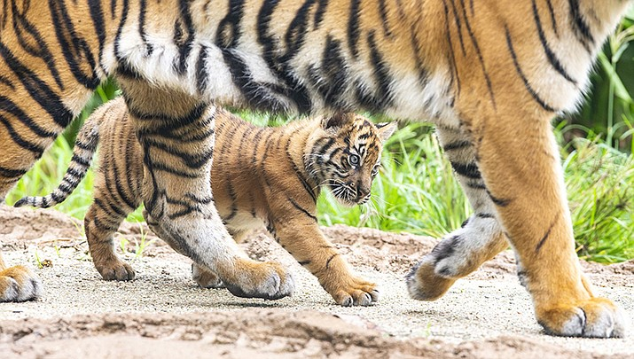 In this photo released by the Taronga Zoo Sydney, three Sumatran tiger cubs born at the Taronga Zoo in their habitat, Monday, March 25, 2019, in Sydney, Australia. Taronga Zoo manager Mandy Everett said the cubs were born on Jan. 17 to first-time mother Kartika. The female cubs were named Mawar, or Rose in Indonesian, and Tengah Malam, which means Midnight. The male's name is Pemanah, or Archer. (Rick Stevens/Taronga Zoo Sydney)