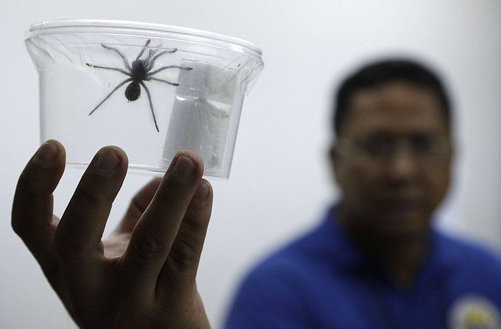 A staff of the Philippine Department of Environment and Natural Resources shows one of the 757 Tarantulas kept inside plastic containers at their office in metropolitan Manila, Philippines on Wednesday, April 3, 2019. Philippine Customs District Collector Carmelita Talusan said in a statement that 757 live Tarantulas, with an estimated value of P310,000 (about US$6,000), were seized by customs agents at Manila's airport last April 1. The endangered wildlife species were found concealed in gift-wrapped oatmeal and cookie boxes and was shipped from Poland. (AP Photo/Aaron Favila)