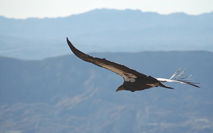 A California condor soars above the Los Padres National Forest. The Mail Tribune reports Friday, April 5, 2019, that Northern California's Yurok Tribe, the National Park Service and the U.S. Fish and Wildlife Service issued a detailed plan for the reintroduction in a recent environmental impact report. (Photo by U.S. Fish and Wildlife Service: Pacific Southwest Region)