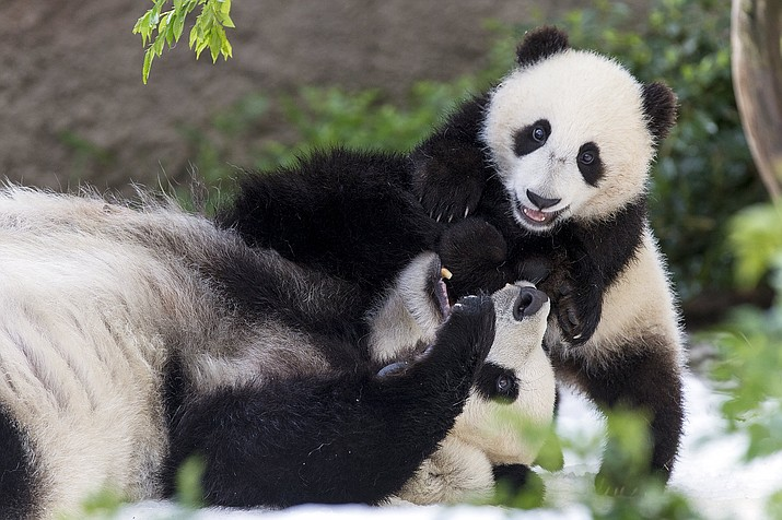 This undated photo provided by San Diego Zoo Global shows giant pandas Bai Yun, a 27-year-old female, and her son, 6-year-old Xiao Liwu, at the San Diego Zoo in San Diego. In honoring the terms of the Zoo's conservation loan agreement with the People's Republic of China, the pandas will leave the San Diego Zoo in April and will be repatriated to their ancestral homeland. (San Diego Zoo Global via AP)