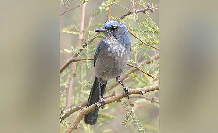 Scrub Jay – photo by Doug Von Gausig