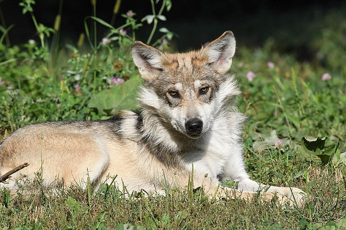 The National Academy of Sciences determined Mexican Gray Wolves are a distinct subspecies and should keep their endangered designation. (Photo/Jim Schultz)