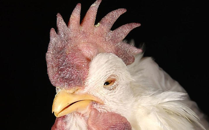 Swelling and purple discoloration of the chicken's comb, wattle and eyelids are symptoms of Virulent Newcastle disease. (Photo/USDA, APHIS)