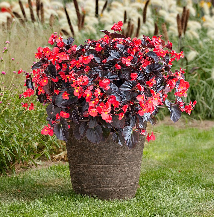 Begonia Viking XL Red on Chocolate is a striking plant great for container gardens. Its large vibrant red flowers are contrasted with chocolate brown leaves. (All-America Selections/Courtesy)