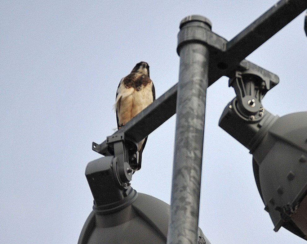 One of two hawks, nicknamed by Bradshaw Mountain softball players Brad and Var, sits atop the light pole over the Bradshaw Mountain versus Prescott Badgers softball game Thursday, April 11 in Prescott Valley. According to head coach Sharon Haese good things happen for them when the hawks show up and look over the field. (Les Stukenberg/Courier)