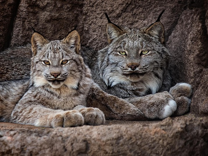 Breakfast with the Animals at Heritage Park Zoo, from 9 to 10 a.m. Saturday, April 13, will be with the Lynx. Pre-registration is required. www.HeritageParkZoo.org. (Heritage Park Zoo/Courtesy)