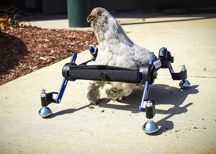 """In this provided by Mikayla Feehan and taken on April 3, 2019, a pet chicken named Granite Heart tests out a custom wheelchair made by Walkin' Pets in Amherst, N.H. On a recent SNL episode, the television show's """"Weekend Update"""" co-host said she should """"just eat the chicken."""" Ten-year-old Alora Wood of Underhill, Vermont, tells NECN-TV that she knows the segment was meant to be a joke, but says what if it was a dog. The chicken was born with a deformed foot. (Mikayla Feehan/Via AP)"""