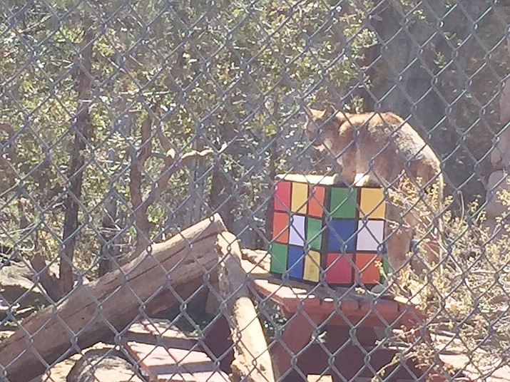 A playful lynx gets on top of an oversized Rubik's Cube. (Kevin Hutson/Courier)