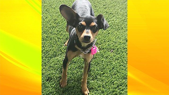 Heidi is a Chihuahua mix at the Chino Valley Animal Shelter. (Courtesy)