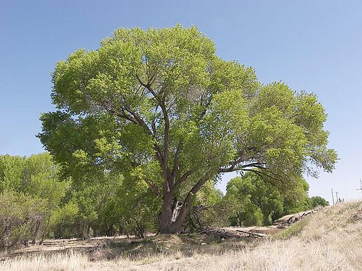 Fremont cottonwood tree — Populus fremontii, Sue Smith @ http://cals.arizona.edu/yavapaiplants. (Courtesy)