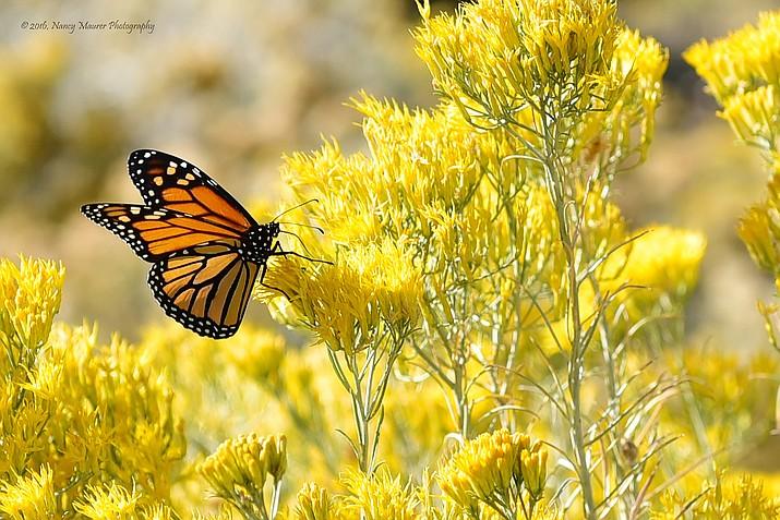 (Nancy Maurer Photography/Courtesy of Highlands Center for Natural History)