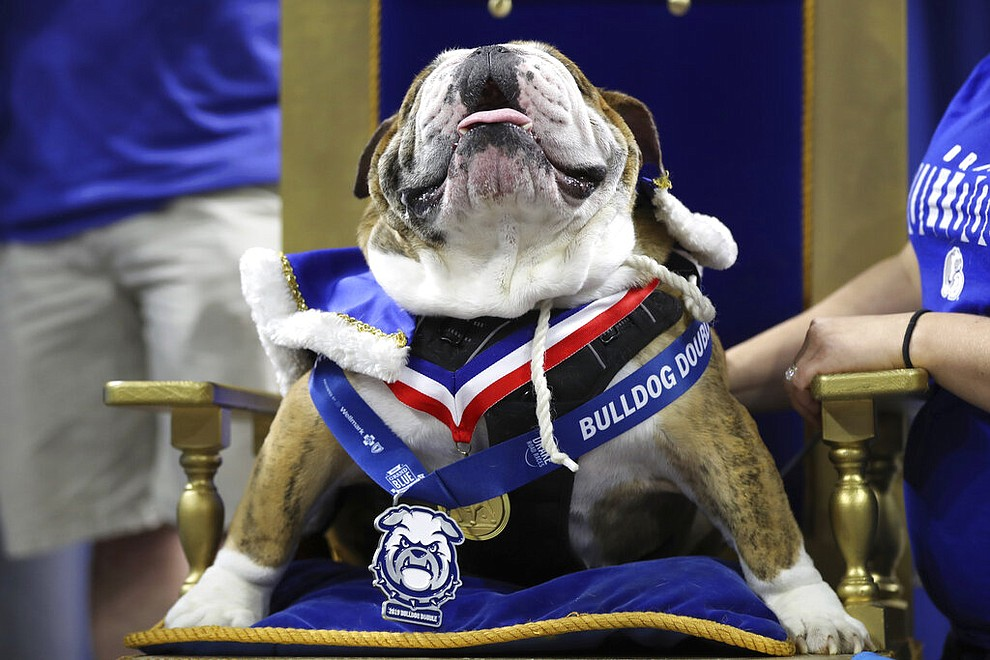 Beau, owned by T.J. and Angela McKenzie, of Urbandale, Iowa, sits on the throne after being crowned the winner of the 40th annual Drake Relays Beautiful Bulldog Contest, Monday, April 22, 2019, in Des Moines, Iowa. The pageant kicks off the Drake Relays festivities at Drake University, where a bulldog is the mascot. (AP Photo/Charlie Neibergall)