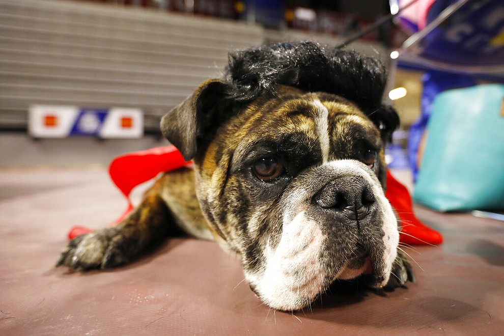 Sluggo, owned by Mary Lee Martz, of Des Moines, Iowa, waits to be judged at the 40th annual Drake Relays Beautiful Bulldog Contest, Monday, April 22, 2019, in Des Moines, Iowa. The pageant kicks off the Drake Relays festivities at Drake University, where a bulldog is the mascot. (AP Photo/Charlie Neibergall)