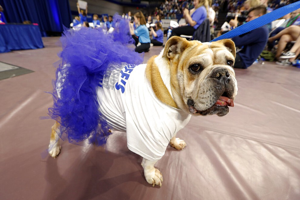 Stella, owned by Gina Brown, of Des Moines, Iowa, walks off the stage during the 40th annual Drake Relays Beautiful Bulldog Contest, Monday, April 22, 2019, in Des Moines, Iowa. The pageant kicks off the Drake Relays festivities at Drake University, where a bulldog is the mascot. (AP Photo/Charlie Neibergall)
