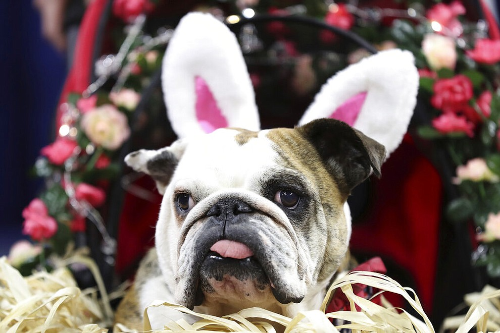 Libby Lou, owned by Kristine Plagman, of Adel, Iowa, is judged during the 40th annual Drake Relays Beautiful Bulldog Contest, Monday, April 22, 2019, in Des Moines, Iowa. The pageant kicks off the Drake Relays festivities at Drake University, where a bulldog is the mascot. (AP Photo/Charlie Neibergall)