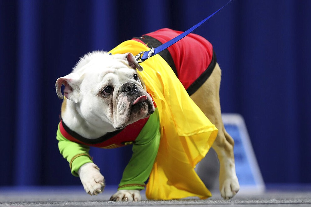 Bentley, owned by Kevin and Amanda Olson, of Urbandale, Iowa, walks on stage during the 40th annual Drake Relays Beautiful Bulldog Contest, Monday, April 22, 2019, in Des Moines, Iowa. The pageant kicks off the Drake Relays festivities at Drake University, where a bulldog is the mascot. (AP Photo/Charlie Neibergall)