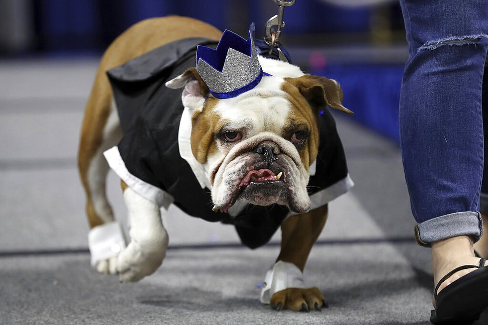 Louie, owned by Joe Brooks, of Johnston, Iowa, walks on stage during the 40th annual Drake Relays Beautiful Bulldog Contest, Monday, April 22, 2019, in Des Moines, Iowa. The pageant kicks off the Drake Relays festivities at Drake University, where a bulldog is the mascot. (AP Photo/Charlie Neibergall)