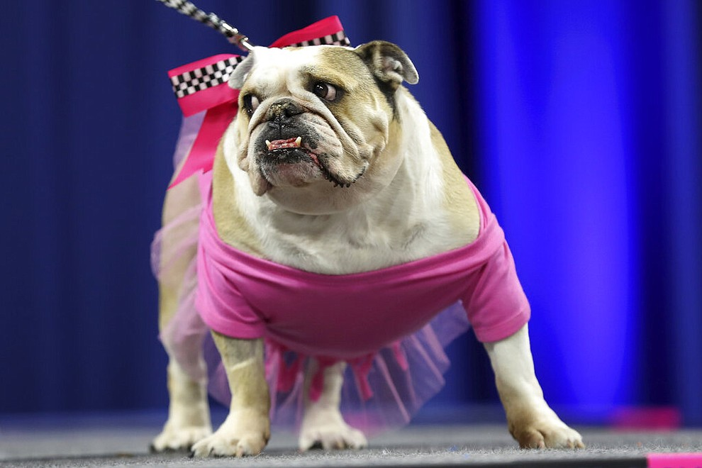 Lexi, owned by Phil Jackson, of Eureka Springs, Ark., stands on stage during the 40th annual Drake Relays Beautiful Bulldog Contest, Monday, April 22, 2019, in Des Moines, Iowa. The pageant kicks off the Drake Relays festivities at Drake University where a bulldog is the mascot. (AP Photo/Charlie Neibergall)