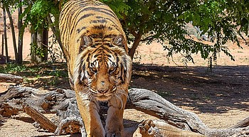 Keepers of the Wild owner suffered two broken bones, 'multiple wounds' in Monday's tiger attack photo
