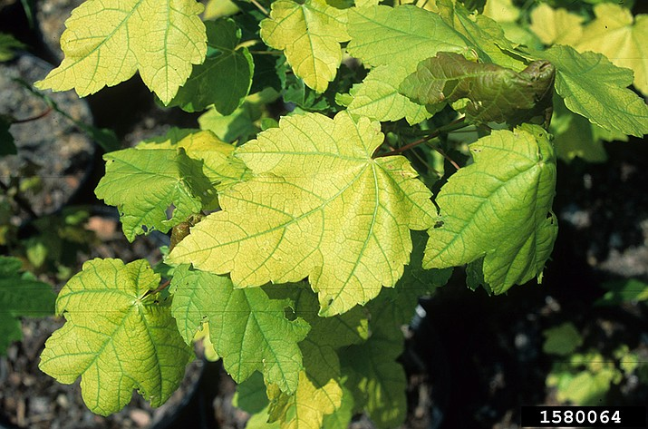 Iron deficiency in red maple (Acer rubrum) showing yellow leaf surfaces with green leaf veins (interveinal chlorosis) on newest leaves (John Ruter, University of Georgia, Bugwood.org)