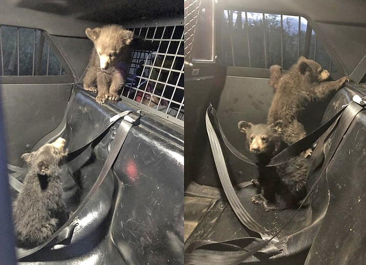 Three bear cubs were recovered by AZGFD following an accident near Oracle, Ariz. April 29.  (AZDPS/photo)
