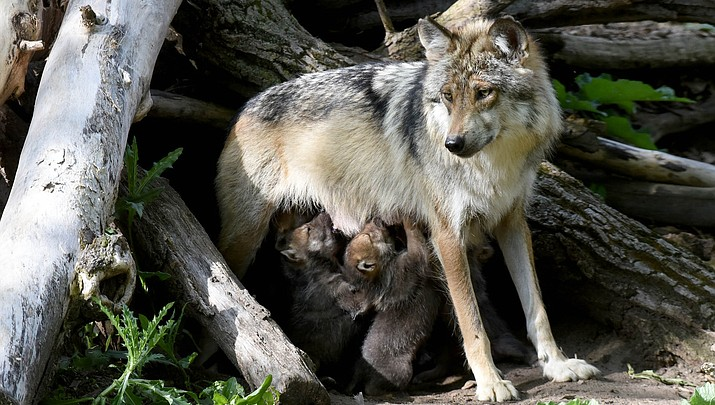 Endangered wolf pups from Kansas zoo released into the wild