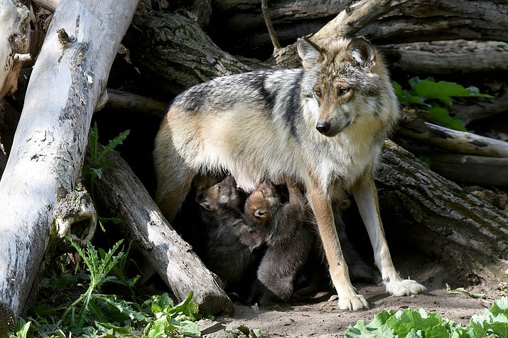 A mother wolf nurses pups, some of whom will be placed into wild dens to bolster genetic diversity in wild packs. (Photo/Jim Schultz)