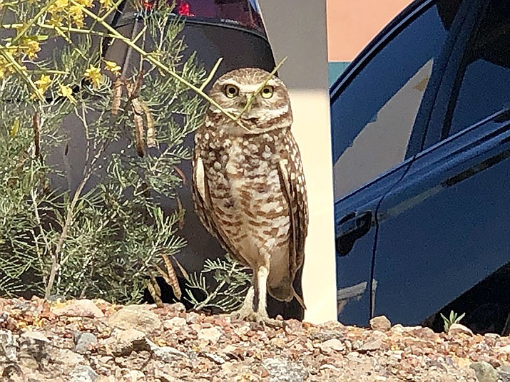 The burrowing owls who live near a playground are more tolerant of people. (Photo by Agata Popeda/Daily Miner)