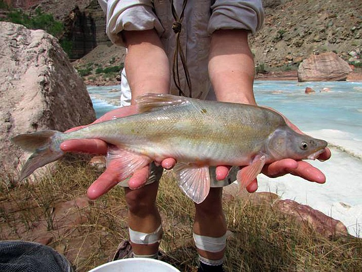 This undated photo provided by the U.S. Fish and Wildlife Service shows a humpback chub in the Colorado River basin in Grand Canyon National Park in Arizona. (Travis Francis/U.S. Fish and Wildlife Service via AP)