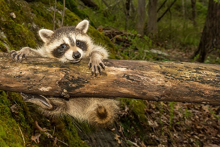 Rising temperatures and longer days mean spring is here and newborn wildlife are likely exploring the world around them. (Adobe Image)