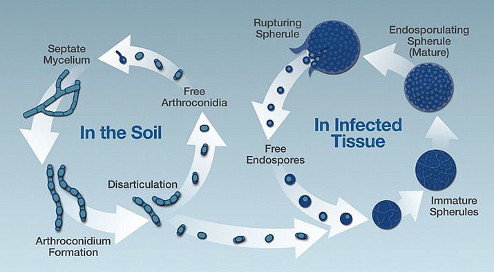 The life cycle of Coccidioides spp. (Valley Fever Center image)