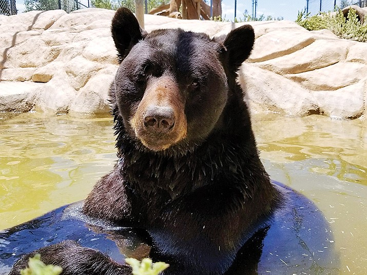 Shash cools off at a watering hole inside Heritage Park Zoo in Prescott. (Heritage Park Zoo/Courtesy)