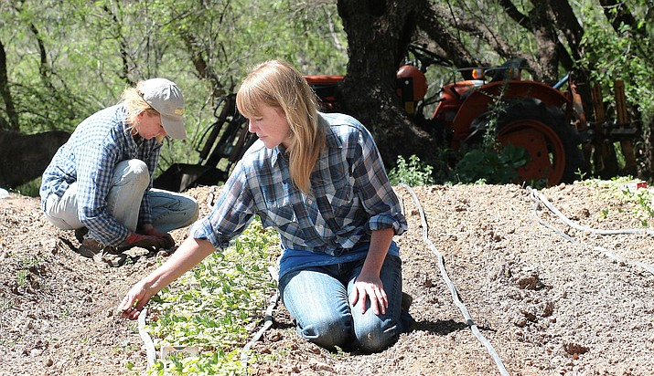 Pictured, from left, Hope and Hilary Barnett prepare for the Verde Valley Community Supported Agriculture' distribution season. VVN/Bill Helm