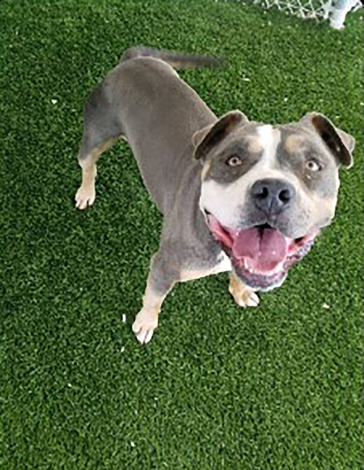 Hank the Tank is a stunning blue tri-color, 2-year-old American Bully mix. (Chino Valley Animal Shelter/Courtesy)