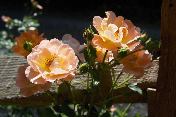 This June 3, 2011 photo shows shrub roses growing alongside a split rail fence. These relatively new rose hybrids are generally healthier, more free flowering, easier to prune and more drought and winter hardy than their old-rose predecessors. (Dean Fosdick via AP)