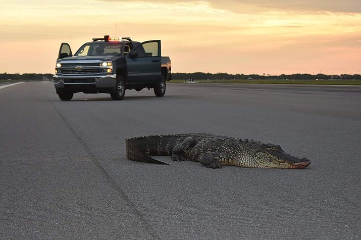 This large alligator walked onto the flight line at MacDill Air Force Base in Florida Tuesday morning. Base personnel had to bring in a front-end loader to remove the reptile from the runway. (MacDill Air Force Base)
