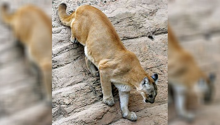 Arizona Game and Fish Department estimates that state wide there are 2,500 to 3,500 of these big cats existing in our wild areas. The department said a 2-year-old male lion killed Friday by personnel from the department and the Patagonia Marshal's Office was emaciated and in apparent poor health. (AZGFD photo)