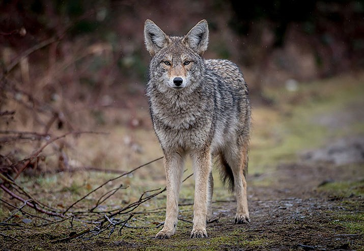 A hot topic for many Arizona sportsmen is the proposal by the Arizona Game and Fish Commission to prohibit organized coyote calling contests. (Adobe Image)