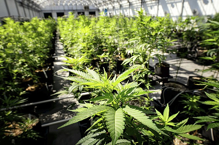 In this May 5, 2015 photo, marijuana plants grow at a Minnesota Medical Solutions greenhouse in Otsego, Minnesota. Advocates for legalizing marijuana have long argued it would strike a blow for social justice after a decades-long drug war that disproportionately targeted minority and poor communities. (Glen Stubbe/Star Tribune)
