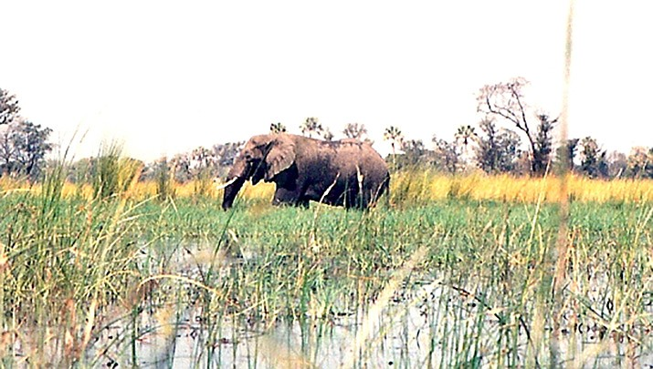 An elephant wades through the waters of the Okavango Delta in Botswana in this 1995 photo. (Photo by JackyR, cc-by-sa-2.5,  https://bit.ly/2YMtxjq)
