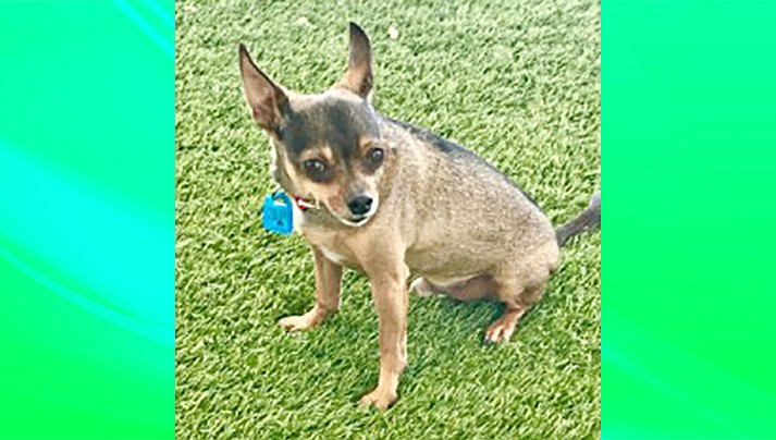 Olaf is a 5- to 6-year-old, neutered male Chihuahua mix. (Chino Valley Animal Shelter/Courtesy)