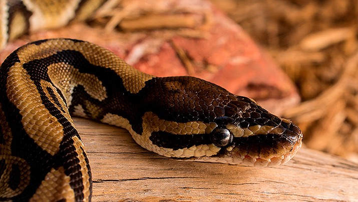 A Florida man lifting a toilet seat was bitten by a 4-foot ball python similar to this one. Authorities said snake didn't belong to the man and it was unclear how it got into his apartment. The snake is nonvenomous. (File photo)