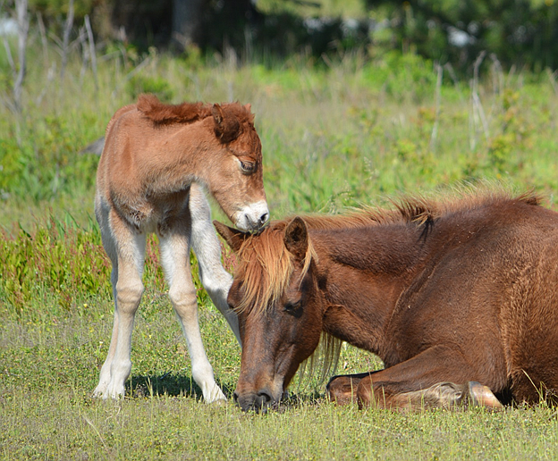 Assateague Island's Gokey GoGo Bones with her new chestnut filly. (Photo/NPS)