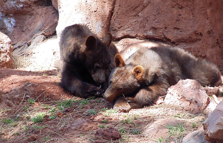 On June 1, Bearizona is celebrating the one-year anniversary of the rescue of the four bear cubs who were orphaned and adopted last year as well as National Black Bear Day. The popular drive- and walk-through wildlife park will donate $5 for every car entering the park to the Appalachian Bear Rescue. (Photo/Bearizona)